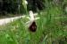 ophrys-crabronifera_foto_brunello_pierini