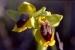 ophrys_lutea