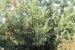 giardino-botanico-di-san-salvo_ginepro_coccolone