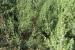 giardino-botanico-di-san-salvo_ginepro_sabino_0