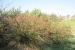 giardino-botanico-di-san-salvo_juncus-acutus_giunco_spinoso_0