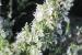 giardino-botanico-di-san-salvo_rosmarino
