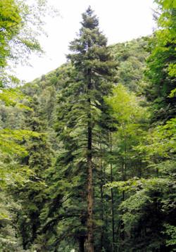 albero più alto d'Italia Rosello (Ch)