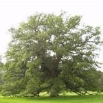 alberi monumentali del vastese