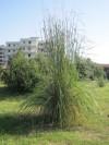 Giardino botanico di San Salvo_Canna_di_Ravenna