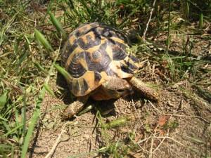 anfibi e rettili d'abruzzo tartaruga di hermann
