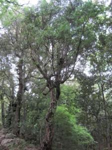 Notevole esemplare di Fillirea a Celenza sul Trigno