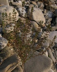 santoreggia, l'erba pepe