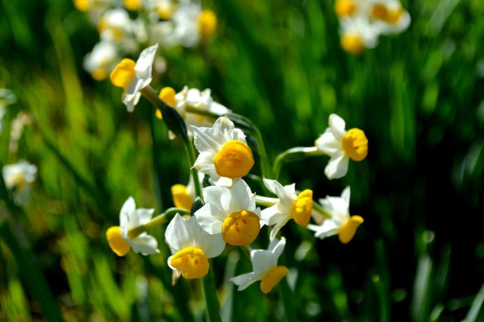 Fiori Bianchi E Gialli Nomi.Le 5 Specie Di Narciso Presenti In Italia Il Fiore Che Annuncia
