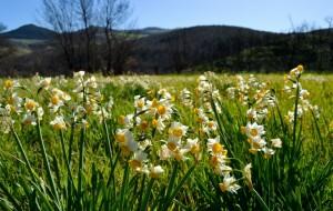 Narciso nostrano Narcissus tazetta subsp. tazetta, valle del Trigno
