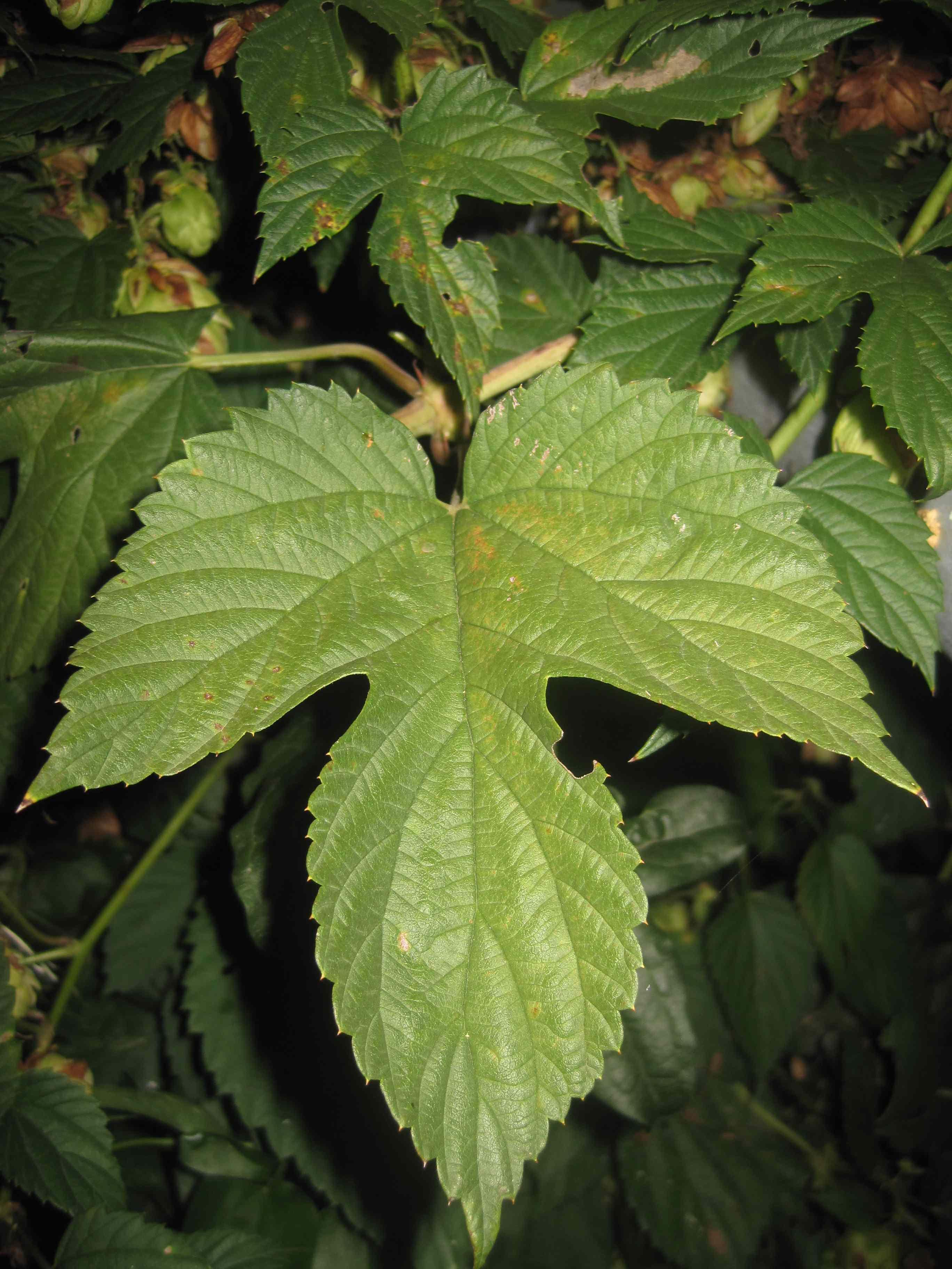 Luppolo selvatico una pianta spontanea in tutto l 39 abruzzo for Pianta del pavimento con dimensioni