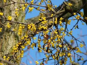 Il vischio quercino in inverno perde le foglie. Il vischio comune, invece, è sempreverde