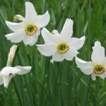 Narcissus_poeticus