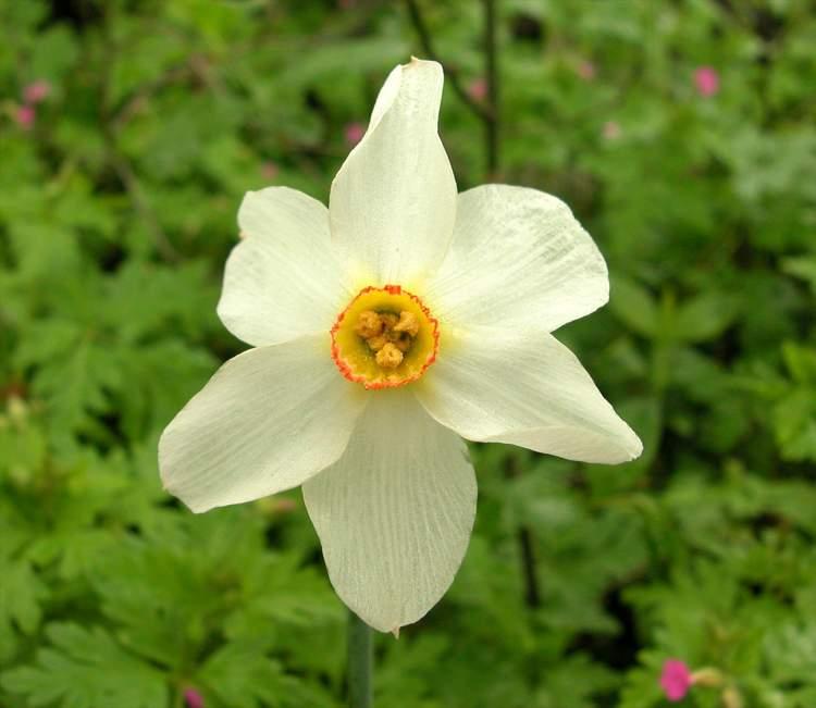 Fiori Bianchi Con Centro Giallo.Le 5 Specie Di Narciso Presenti In Italia Il Fiore Che Annuncia