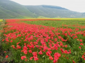 fioritura di papavero dei campi