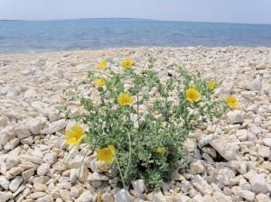 Papavero giallo nel suo tipico ambiente di vegetazione