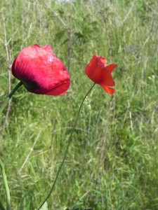 differenza tra Papaver somniferum e Papaver rhoeas