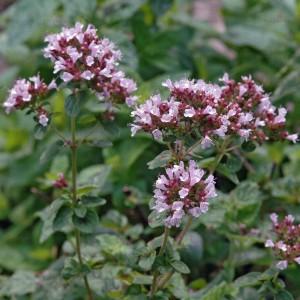 origano Origanum vulgare