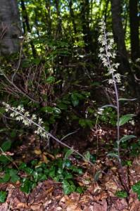 Epipactis purpurata elleborina purpurea pianta rara montazzoli alto vastese