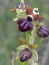 ophrys_passionis_valle_del_trigno