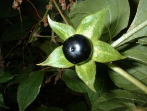 atropa_belladonna_piante più velenose