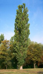 Populus_nigra-bekes